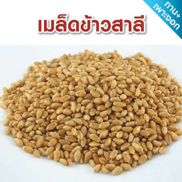 เมล็ดข้าวสาลี 1 กิโลกรัม