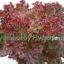 เมล็ดพันธุ์ เรด คอรัล (Red Coral) 100 เมล็ด thumbnail 2