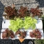 ชุดปลูกผักไฮโดรโปนิกส์ 45 cm. set thumbnail 6